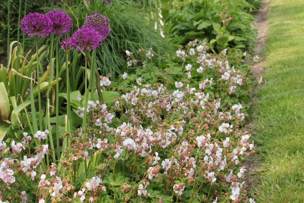 geranium-ooievaarsbek-tuin-tuinblogger-allium