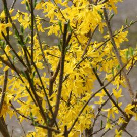 forsythia-gele-bloem-struik