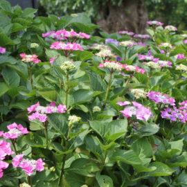 hortensia-tuin-tuinblogger