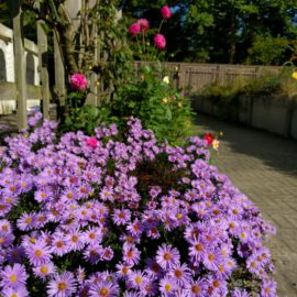 tuinblogger-asters-herfst