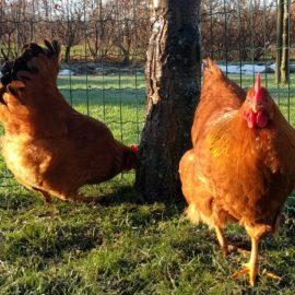 nieuw-hek-voor-kippen-tuintips-schutting