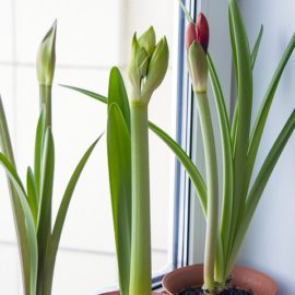 amaryllis-in-knop-tuinblogger