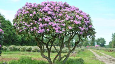 Rhododendrons : groenblijvende kleurrijke struik