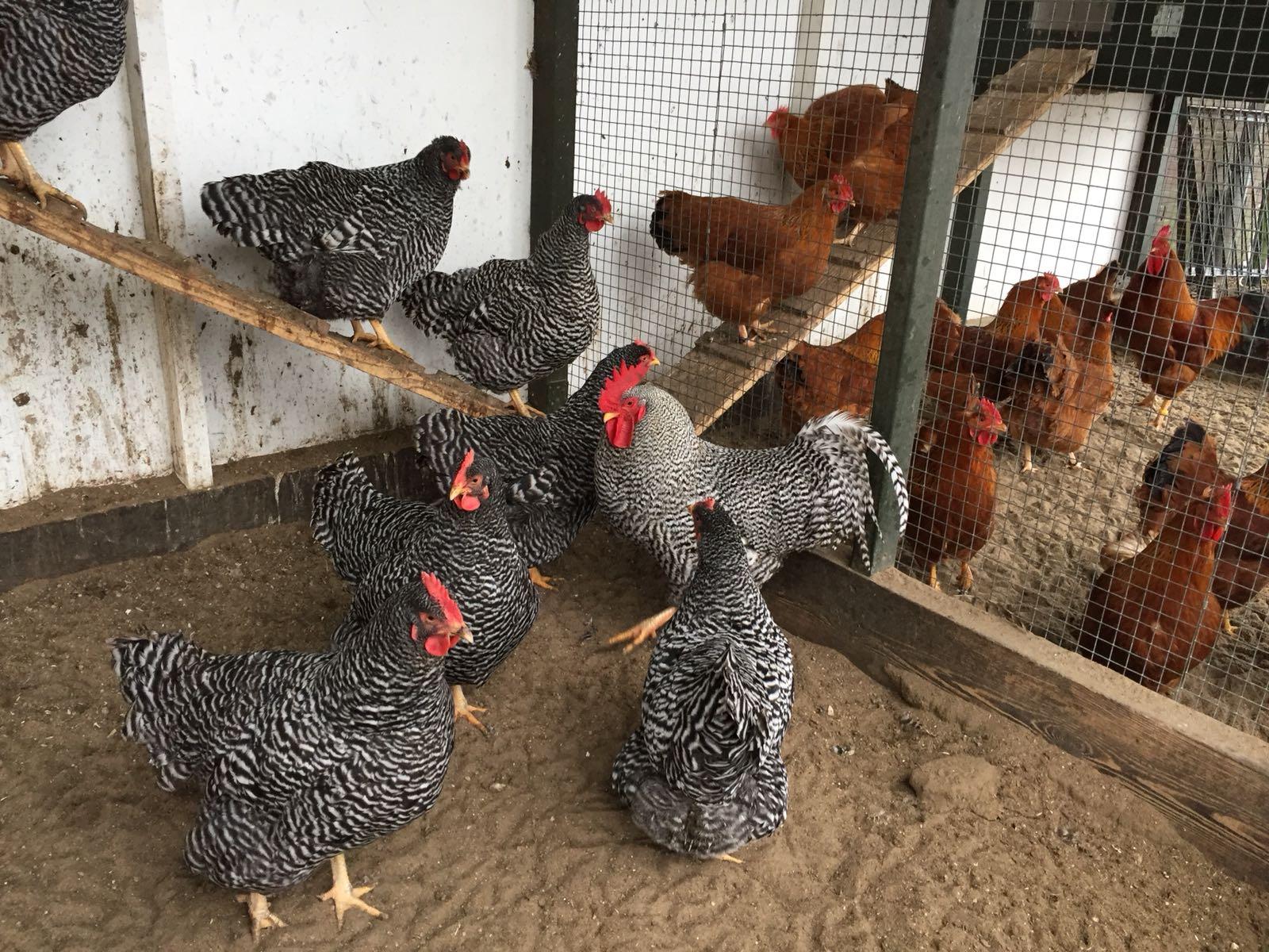 Kippen-tuinblogger-amrock