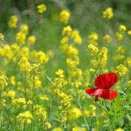 Mosterdzaad-geel-klaproos-rood-grondbemester