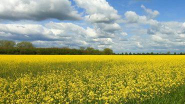 Mosterdzaad-koolzaad-veld-geel-bloem