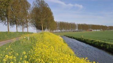 Mosterdzaad-koolzaad-waterkant-tuinblog