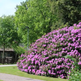 Rhododendrons-grote-groep-mooist-paars