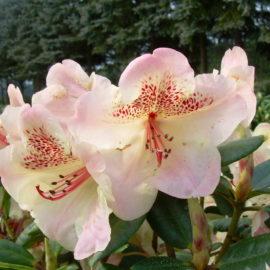 Rhododendron-bloei-bloem-zalmroze-tuinblogger