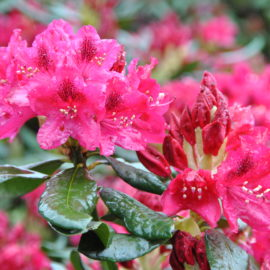 Rhododendron_tuinblogger_roze