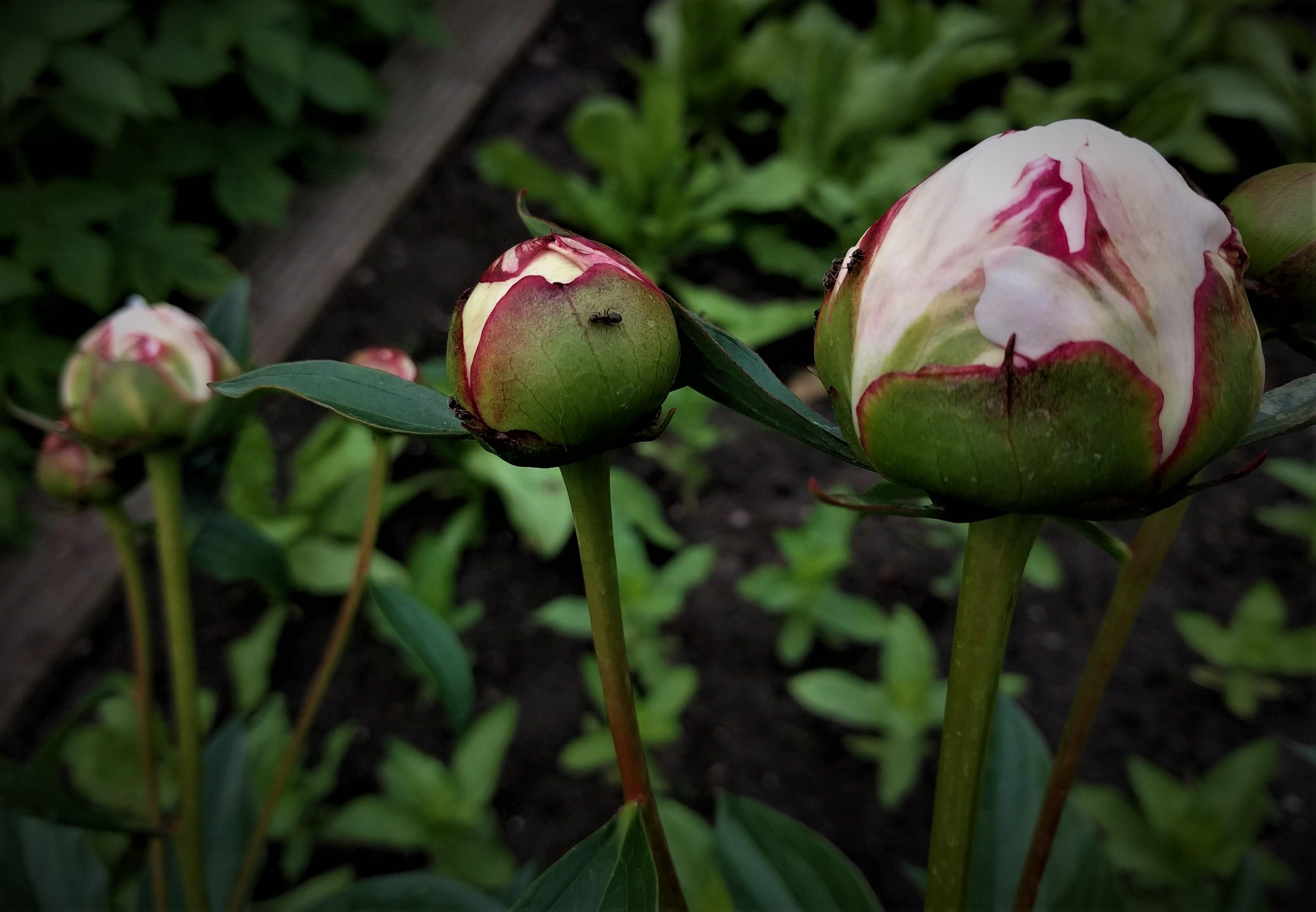pioenrozen-knop-tuinblogger