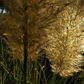 pampusgras-tegenlicht