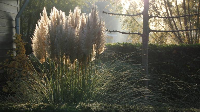 Pampusgras: mijn wuivende reus