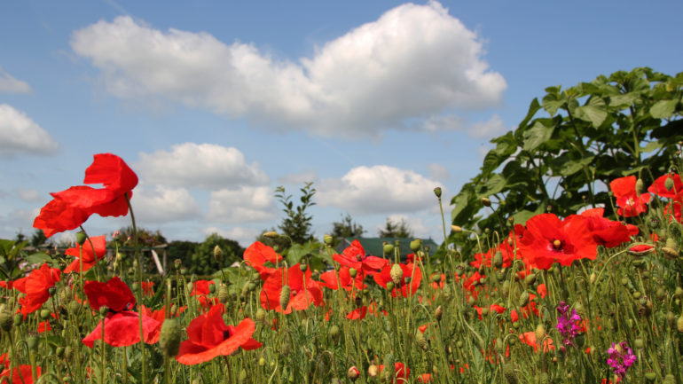 Papaver: de zomer is er!
