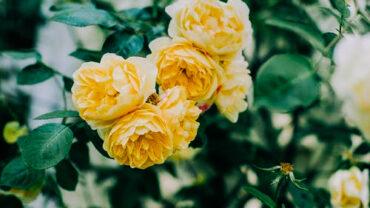 klimrozen-geel