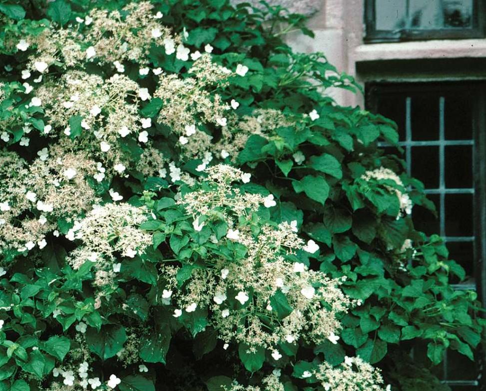 klimhortensia-kleine-tuin-tuinblogger